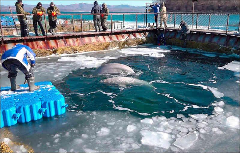 Deixem-nas viver! Chamada para dar fim à tortura das baleias orca e beluga na Rússia