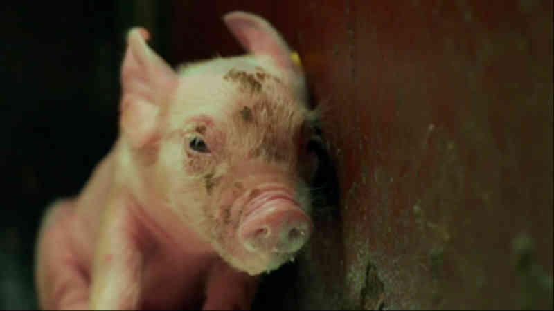 Este documentário retrata os seis meses de vida e agonia dos porcos de criação