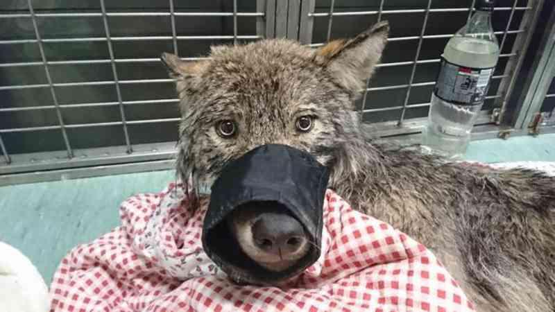 Operários resgatam 'cão' de rio congelado e descobrem que era um lobo