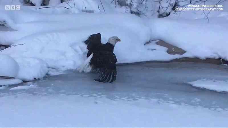 Onda de frio: o resgate da águia impedida de voar por bola de gelo presa às penas