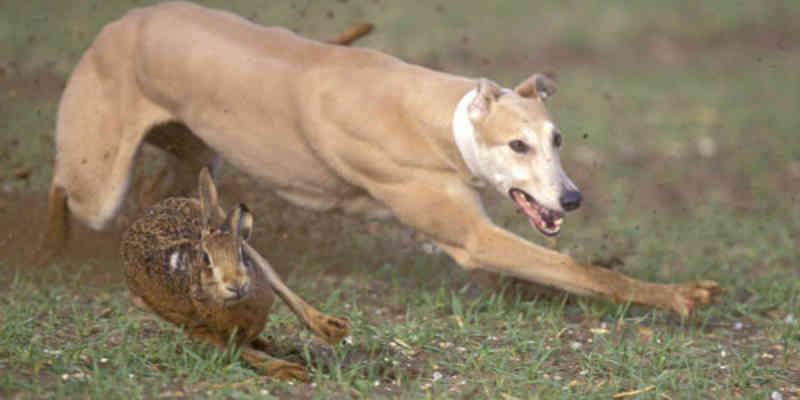 Esta tradição mata até 100.000 cães por ano na Espanha