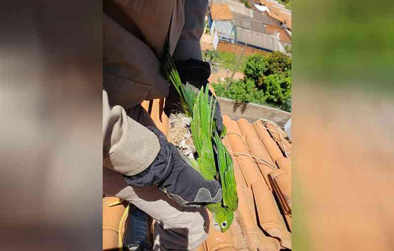 Bombeiros resgatam duas maritacas presas em linhas de pipa em Goiânia