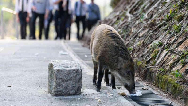 Há javalis a causar agitação nas ruas de Hong Kong e ativistas evitam o abate