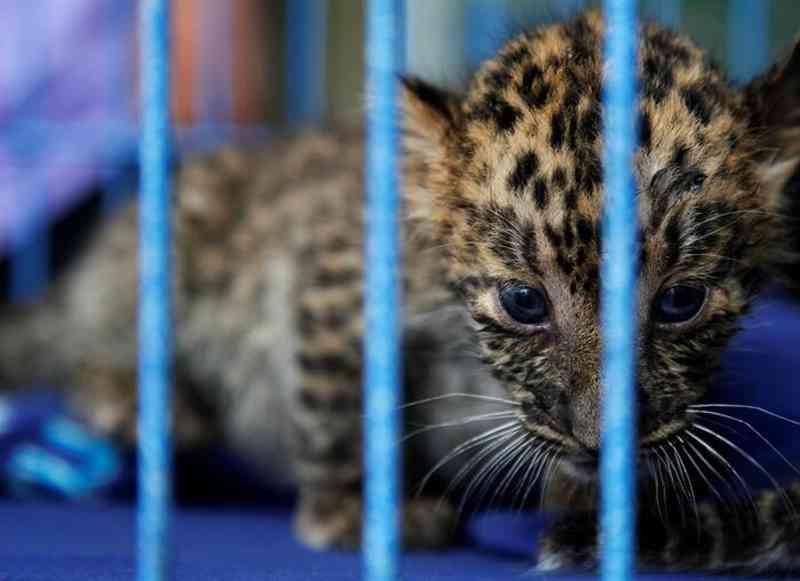 Leopardo bebé encontrado em bagagem num aeroporto da Índia