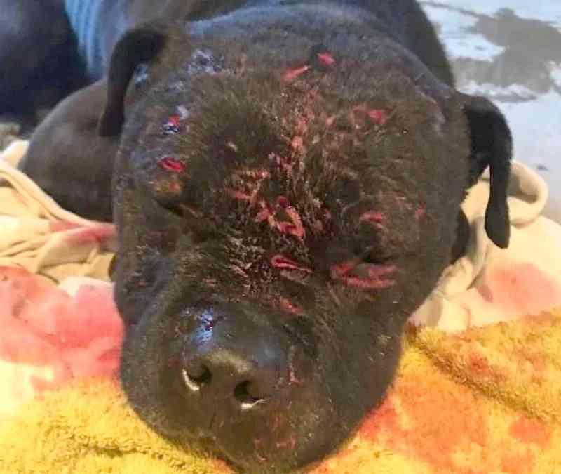 Cães severamente abusados são resgatados de brutal 'briga de cachorros', na Inglaterra