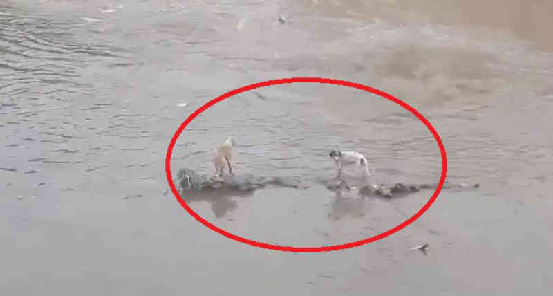 Bombeiros resgatam cães ilhados em córrego na Pampulha, em Belo Horizonte (MG); internauta fez alerta