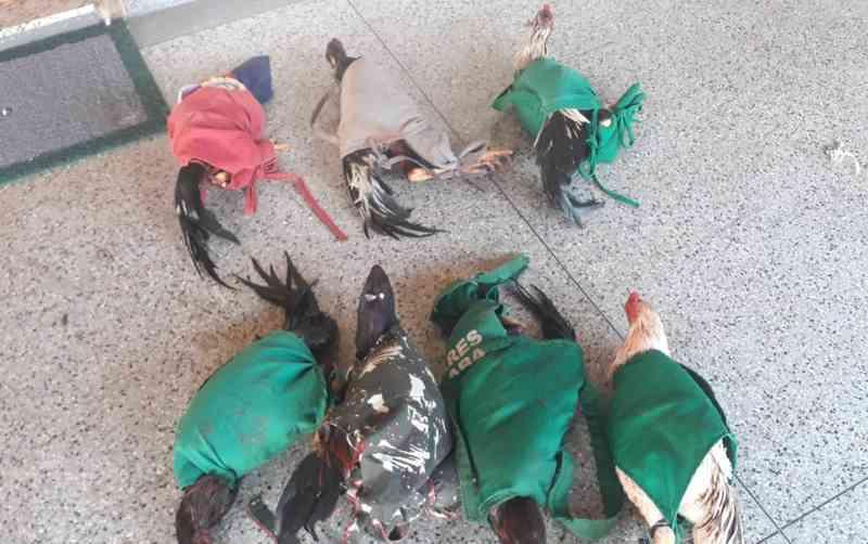 Animais são resgatados em rinha de galo em Uberaba, MG