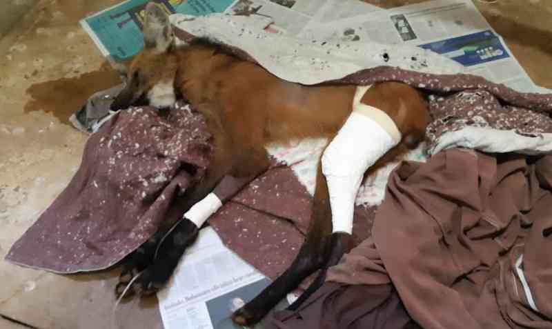 Resgatado ferido em fazenda no Alto Paranaíba, lobo-guará é tratado no Hospital Veterinário de Uberaba, MG