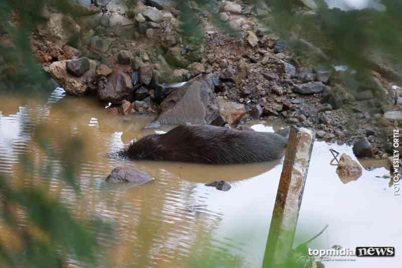Motociclista atropela capivara e animal morre na Ernesto Geisel, em Campo Grande, MS