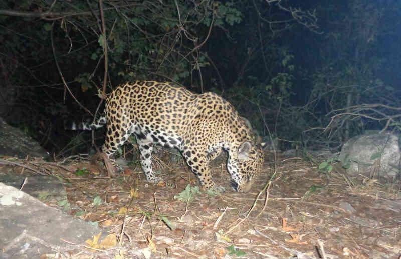 Onças ganham parque nacional na caatinga