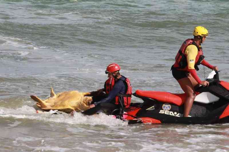 Tartaruga-cabeçuda é resgatada debilitada na Praia de Piedade, em Jaboatão dos Guararapes, PE