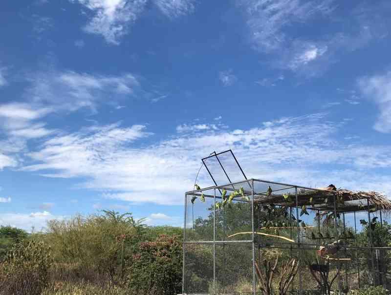 Papagaios-verdadeiros são devolvidos à natureza, em Lagoa Grande, Sertão de PE
