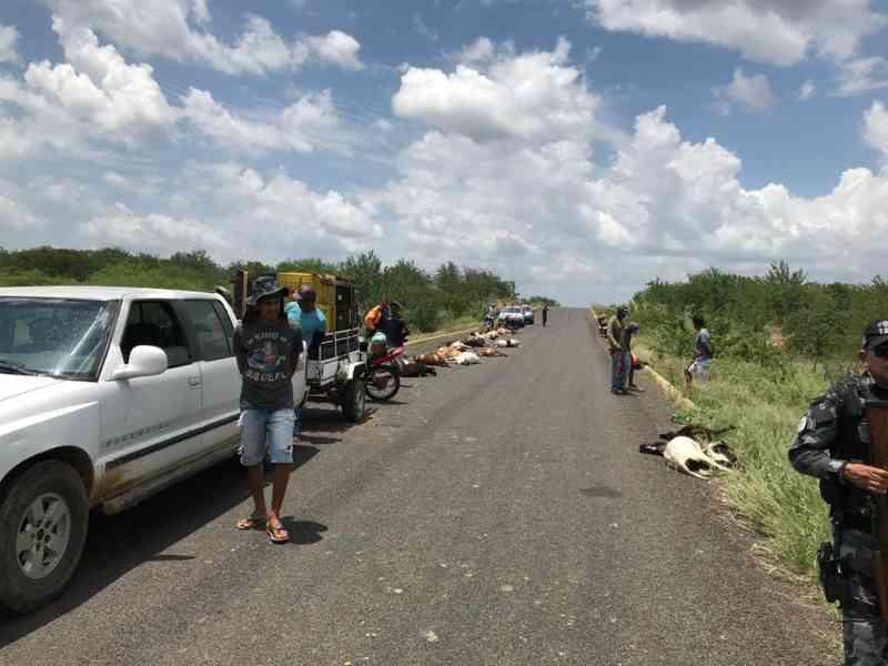 Condutor em alta velocidade mata 29 ovelhas atropeladas em rodovia no Sul do Piauí