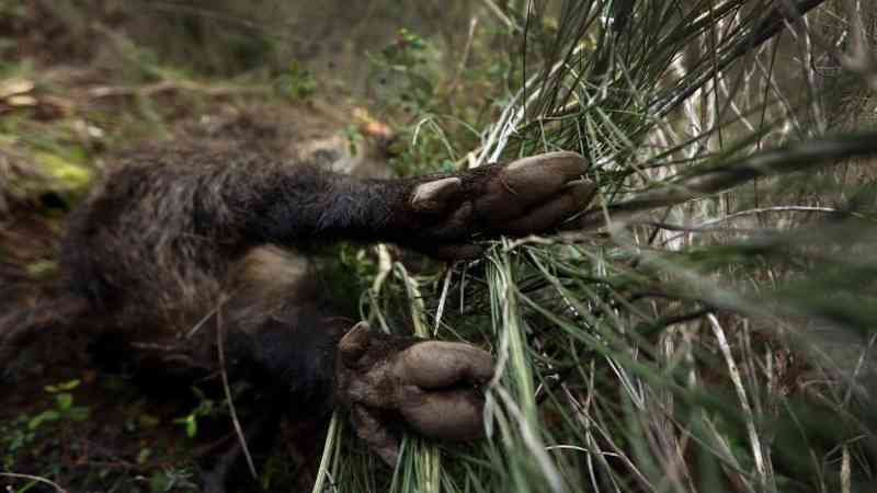 As autoridades explicam que a caça em massa representa uma forma de parar a febre suína africana que se está a espalhar em quintas no leste da Polónia - JOSE COELHO/LUSA