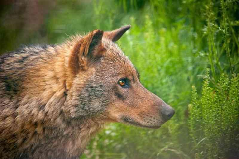 Lobo encontrado morto e preso em armadilha com tiro na nuca