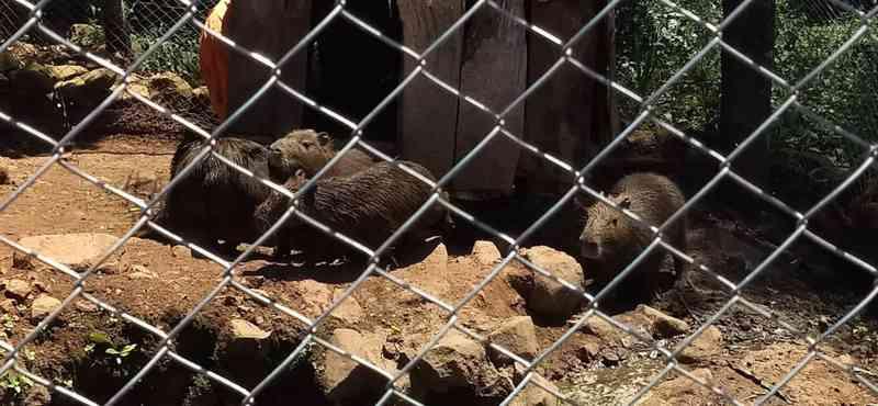 Polícia Ambiental apreende capivaras mantidas em cativeiro em Chopinzinho, PR