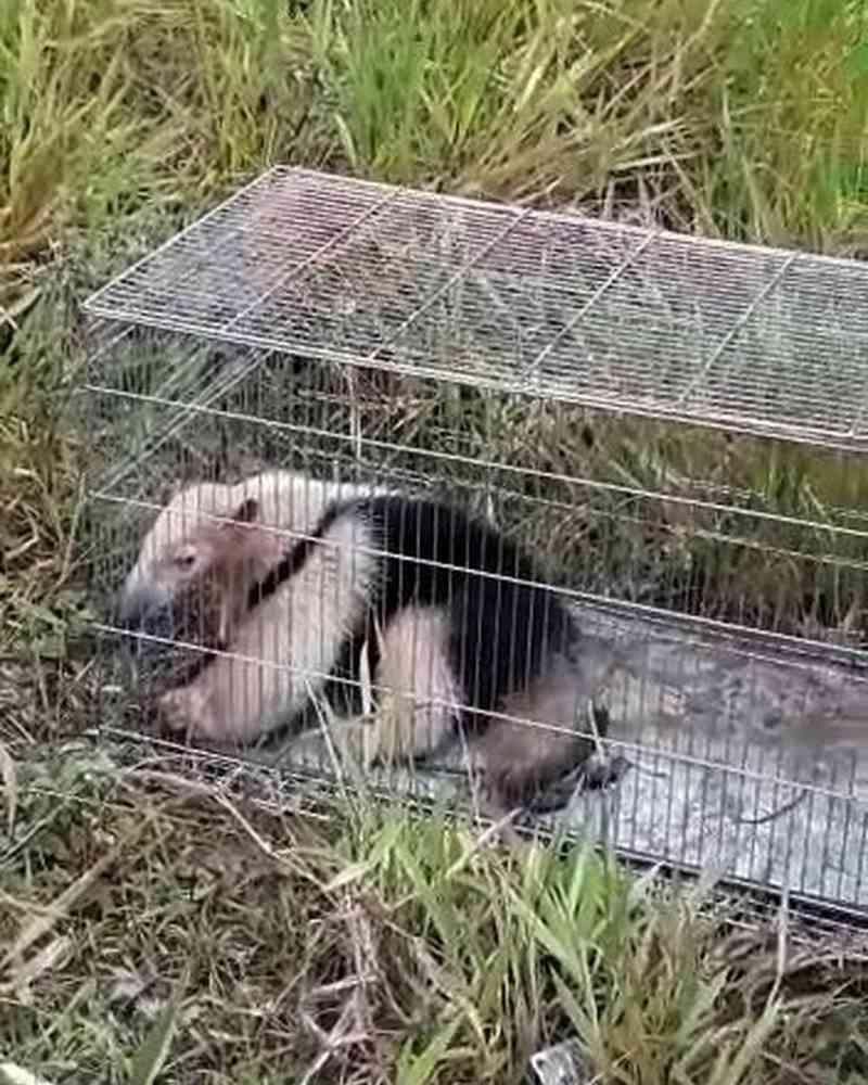 Tamanduá-mirim é capturado no bairro Vila Independência e devolvido à natureza em Barra Mansa, RJ