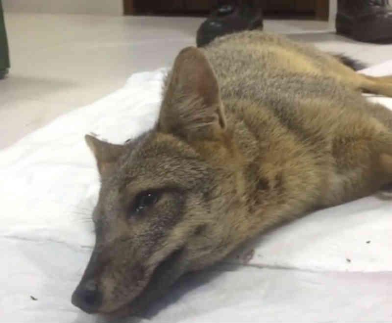 Raposa vítima de atropelamento é resgatada por guardas municipais de Natal, RN