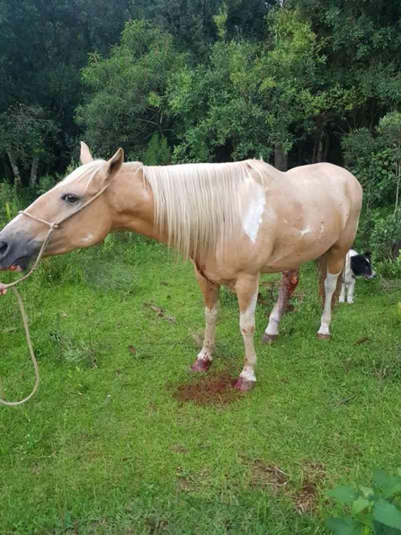 Homem mata cavalo a facadas e Brigada Militar 'registra ocorrência', em Vacaria, RS