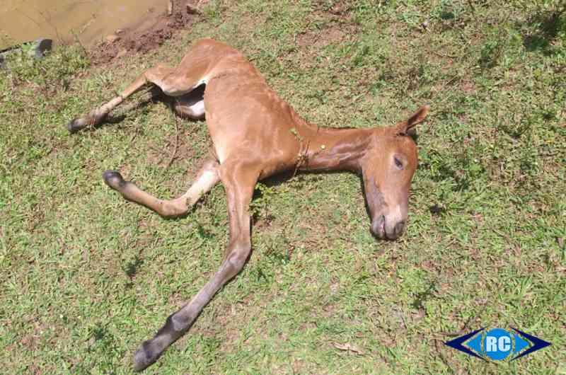 Morte de potro em açude por possível negligência do tutor causa comoção de moradores em Capinzal, SC
