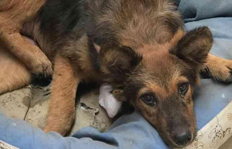 Cachorra com pata quebrada há uma semana precisa de ajuda em Campinas, SP