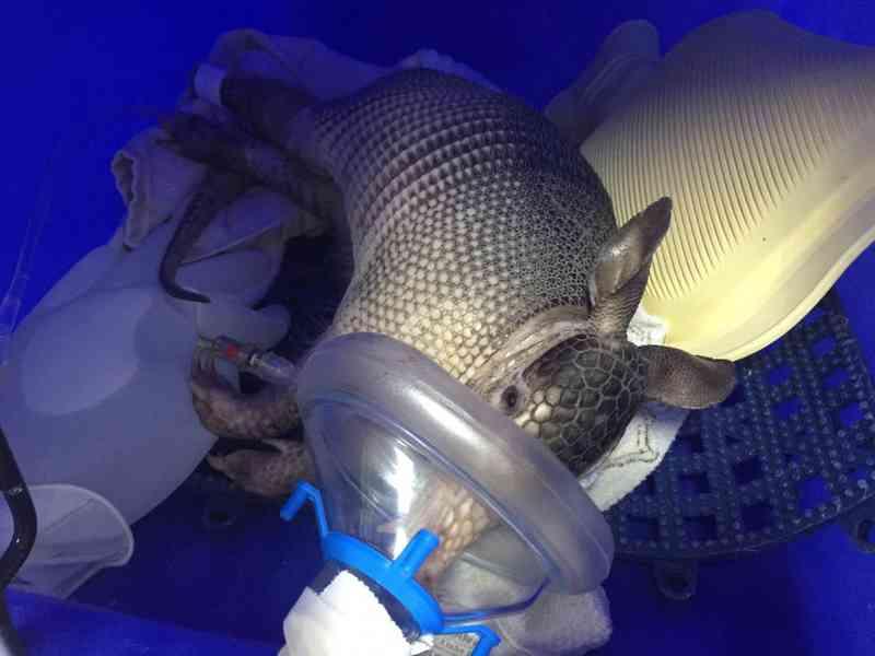 Tatu registrado fazendo inalação em SP morre após se afogar em praia