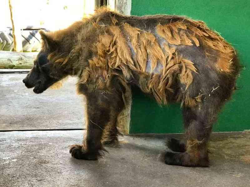 Ursa Rowena começa troca de pelos e mostra boa saúde em santuário no interior de SP