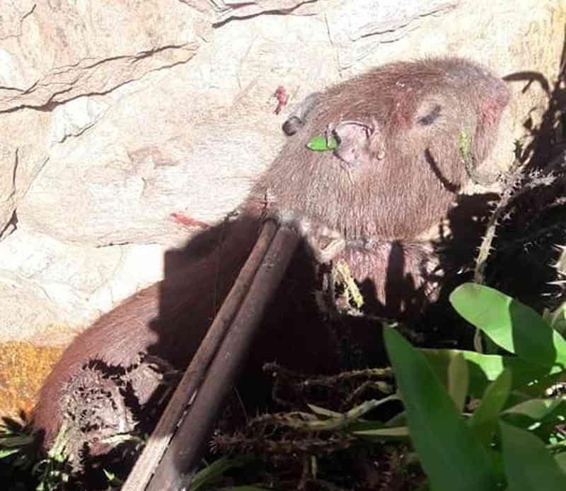 Capivara presa em arbusto com espinhos é resgatada pelo Corpo de Bombeiros em Porto Ferreira, SP