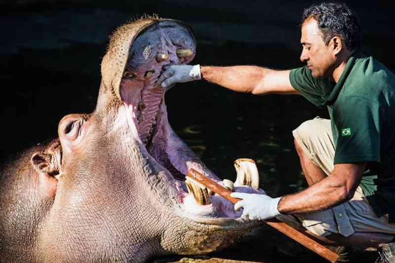 Tratador escova os dentes do hipopótamo Pororó em São Paulo (Antonio Milena/Veja SP)