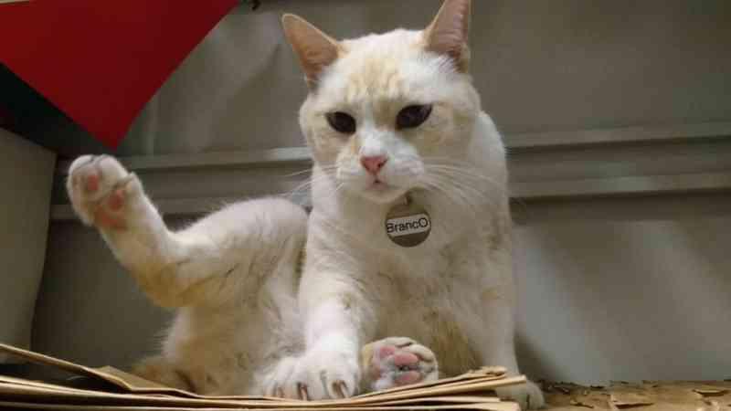 Desaparecimento de 'gato estudante' mobiliza até cão farejador em SP