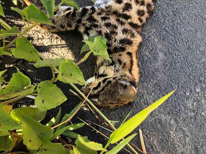 Gato do mato é encontrado morto na Rodovia SP 105 — Foto: Charles Lindbergh Leda