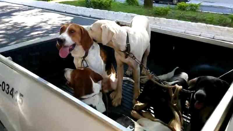 Grupo é autuado por usar 16 cães para caçar javalis em Tremembé, SP