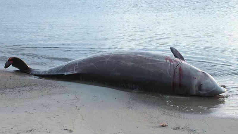 Sonar de navios pode literalmente matar baleias de medo, mostra estudo