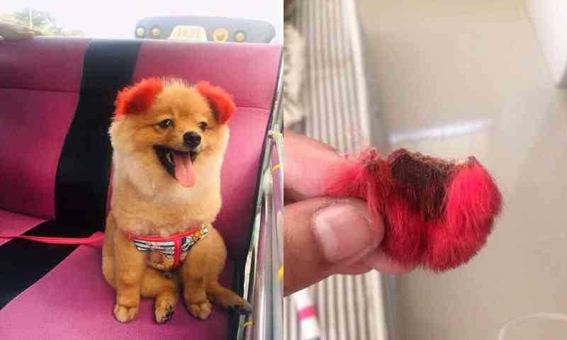 Cãozinho perde a orelha após reação alérgica a tingimento de pelos