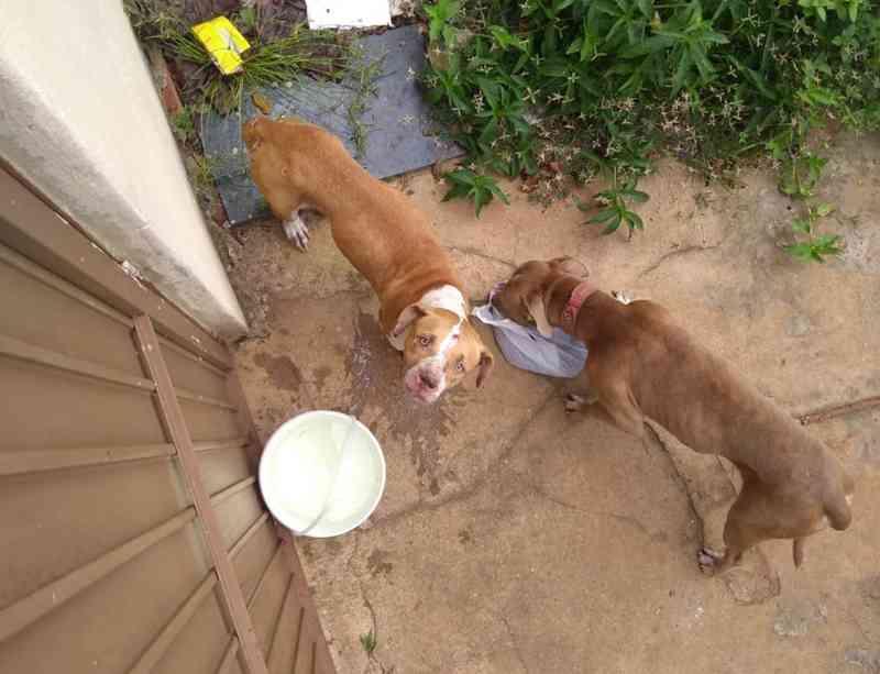 Pit bulls resgatados após ficarem 36 dias sem comida são adotados por empresário em TO