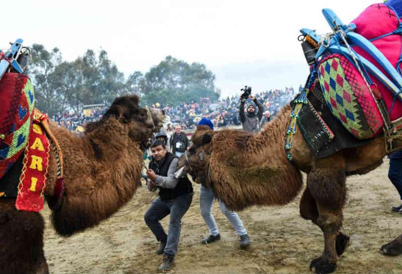 Briga de camelos, a cruel tradição centenária na Turquia