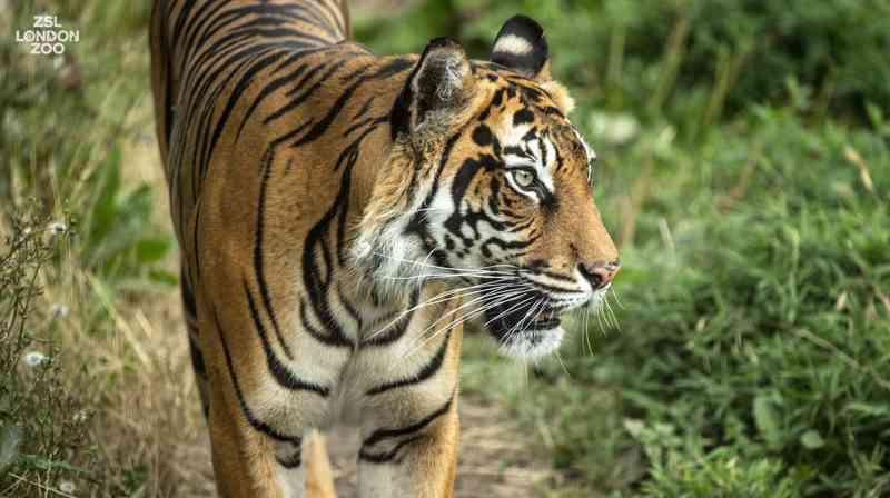 Acasalamento malsucedido provoca morte de tigre em Londres