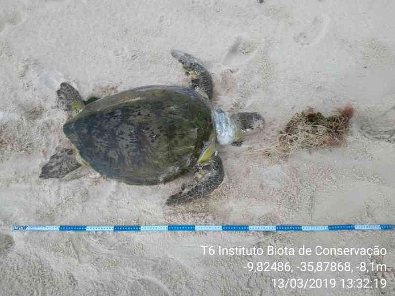 Animal estava preso em uma rede de pesca na praia do Francês, em Marechal Deodoro, AL — Foto: Divulgação/Biota