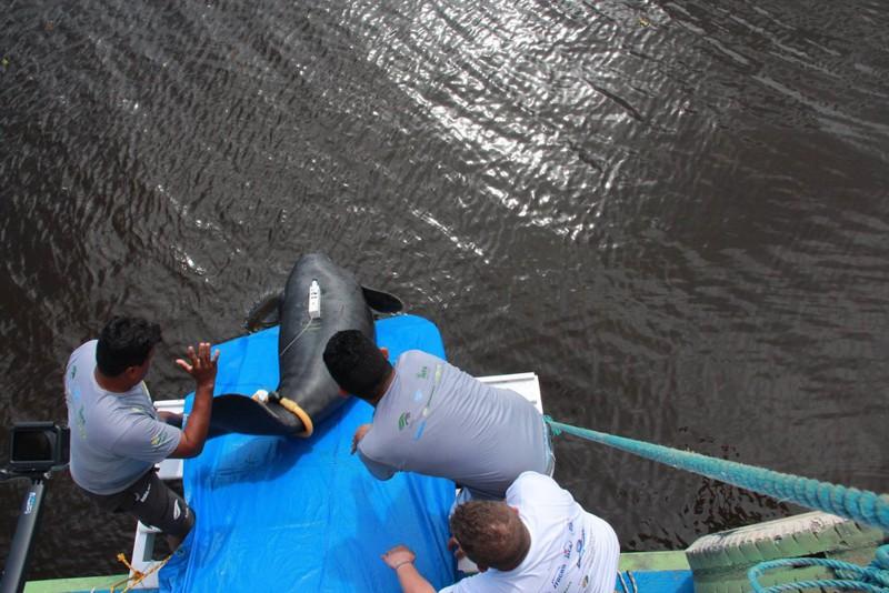 Vítimas de caça ilegal, 12 peixes-bois são reintroduzidos à natureza no AM