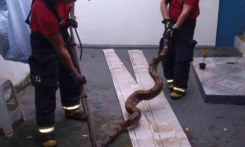 Jiboia com mais de dois metros foi resgatada nesta quarta-feira (13) — Foto: Divulgação/Corpo de Bombeiros