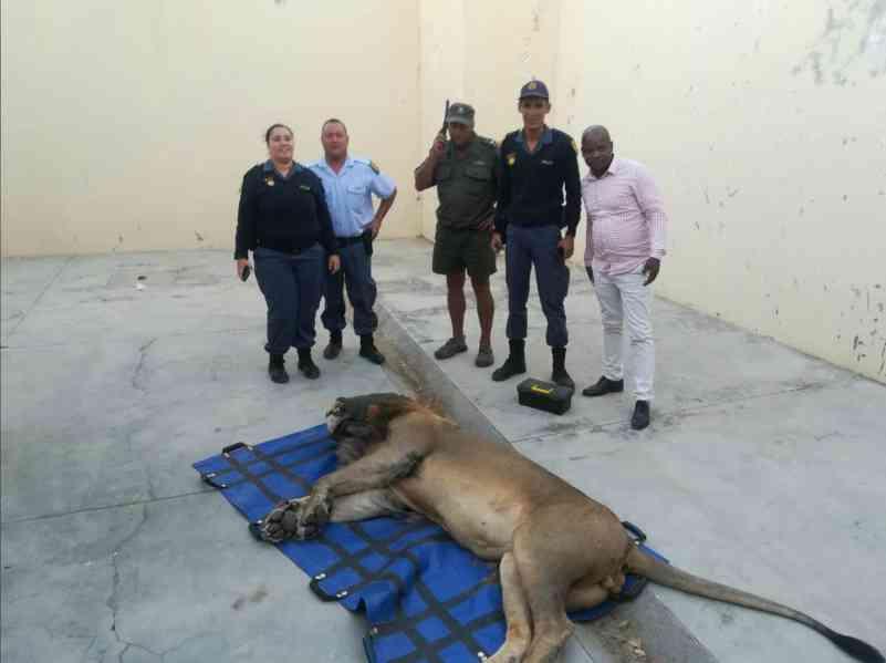 Leão que fugiu de parque na África do Sul é encontrado e passa a noite em cela policial