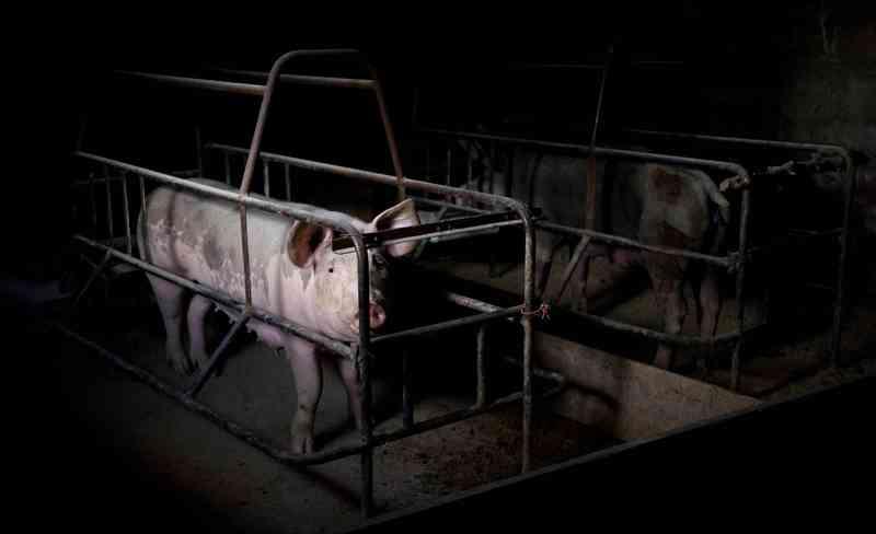 Em cada bife que mastigamos, os animalistas veem um ser que queria viver. Sua luta está entrando em choque com a indústria da carne