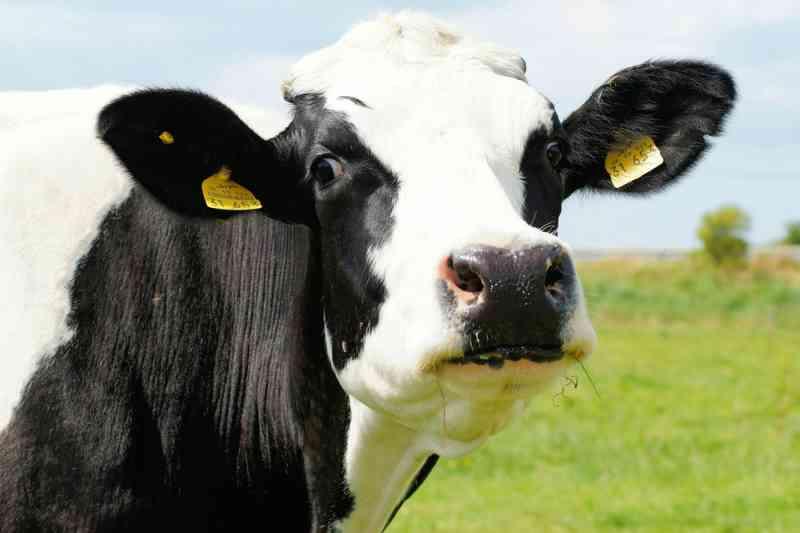 Contra a ingestão de lixo, criadores colocam ímãs no esôfago de vacas