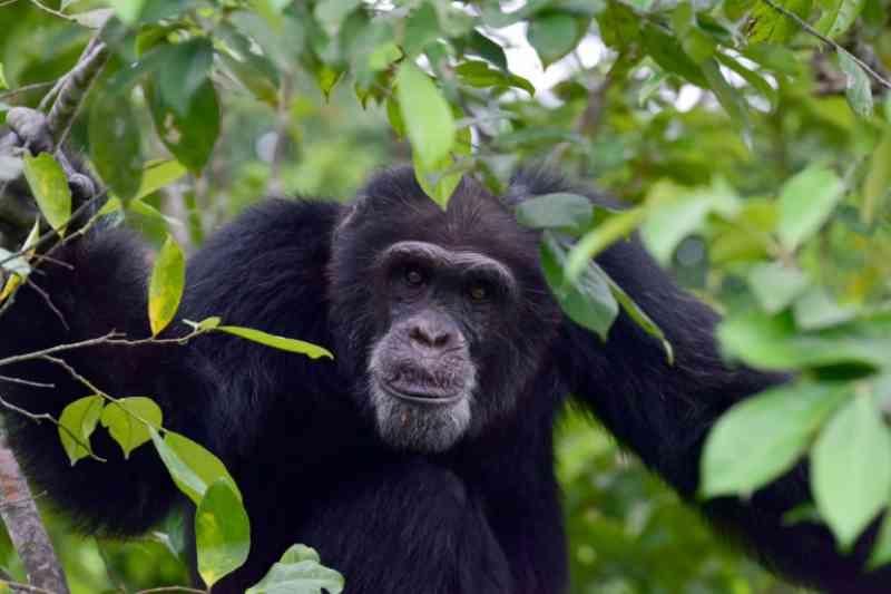 Diversidade cultural dos chimpanzés está ameaçada por humanos