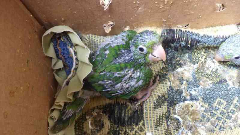 Cativeiro ilegal de aves silvestres é descoberto pela polícia em Linhares, ES