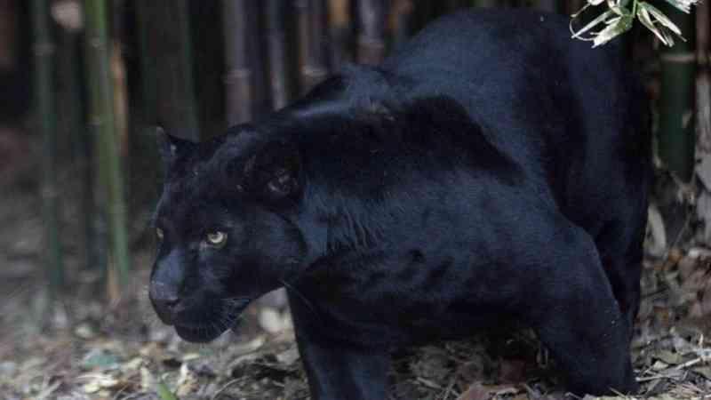 Mulher é atacada por jaguar ao tirar selfie com o animal em zoológico no Arizona, EUA
