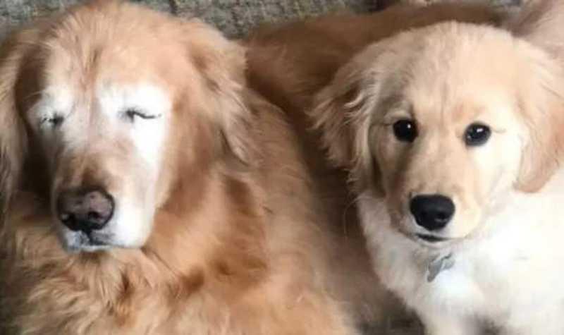 Filhote vira 'cão-guia' de amigo que perdeu olhos por glaucoma