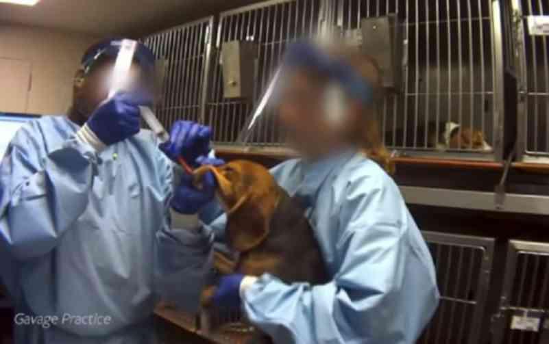 Indústria de agrotóxicos usa cães beagle como cobaia em testes a pedido da Anvisa