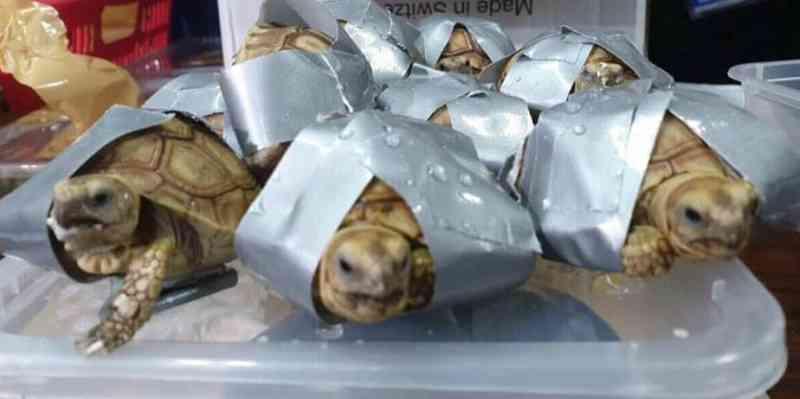 Mais de 1,5 mil tartarugas vivas são encontradas em malas em aeroporto das Filipinas