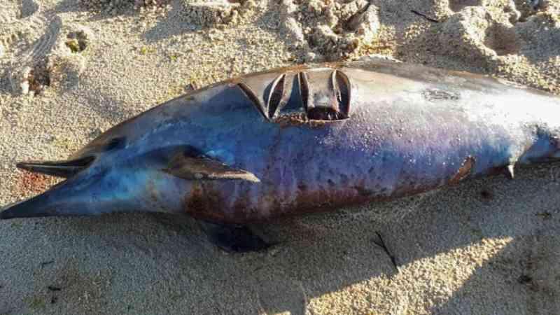 França: golfinhos encalham mortos com palavra riscada à faca na pele
